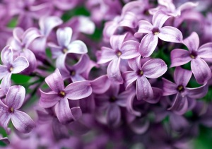 Lilac-Flower-purple-34733517-1024-768